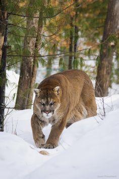 puma ,leone di montagna   ...stupendo