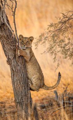 Lion cub  (by johan barnard on 500px)