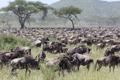 Thousands of Migrating Wildebeest Shot by ADS Guests: Ann & Don P.  from Tucson, Arizona  Trip Dates: May 13, 2013 to May 28, 2013