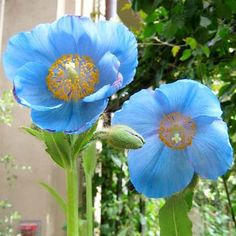 Himalayan Blue Poppies - Divine, How to Grow Blue Poppy, Longwood Gardens, Himalayan, Garden Inspiration, Flower Power, Beautiful Flowers, Poppies, Gardening, Mushrooms