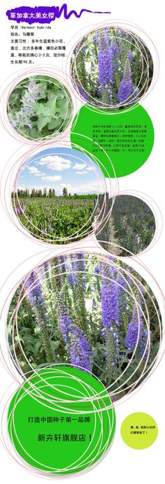 Verbena / cold and heat verbena flowers and potted planting fruits and vegetables and more meat melon plants Trolltech -tmall.com Lynx