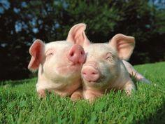 #animals #pigs #cute