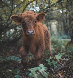 If You Ever Feel Sad, These 85 Highland Cattle Calves Will Make You Smile – animals Cute Baby Cow, Baby Cows, Cute Cows, Baby Elephants, Fluffy Cows, Fluffy Animals, Cute Little Animals, Cute Funny Animals, Cute Animal Photos
