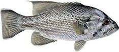 Image result for dhufish Fish, Pets, Animals, Image, Drawing, Animals And Pets, Animais, Animales, Animaux