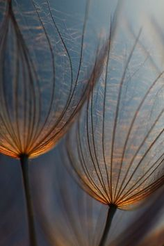 ⭐ blue brown . seed heads