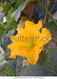 Temukan gambar stok Beautifull Yellow Flower Pumpkin Squash Cucutbita beresolusi HD dan jutaan foto, ilustrasi, dan vektor stok tanpa royalti lainnya di koleksi Shutterstock. Ribuan gambar baru berkualitas tinggi ditambahkan setiap hari.