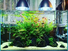 光量足りてるのかな… #ada #aquadesignamano #natureaquarium #aquarium #aquarist #aquascape #waterplants #aquaticplants #アクアデザインアマノ #アマノ #天野尚 #takashiamano #アクアリウム #ネイチャーアクアリウム #水草 #水槽 #水草水槽 #レイアウト #熱帯魚 #ラスボラヘテロモルファ #アピストグラマ #ヤマトヌマエビ #アマノシュリンプ #オトシンクルス