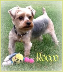 Rocco is an adoptable Yorkshire Terrier Yorkie Dog in Deer Park, NY. Update 8/19/12: I have learned to use the doggie door and I go outside when I have to use the potty. I am the happiest little guy...