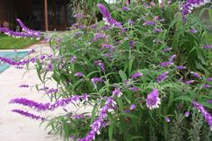 Week 42-2013 and the Garden Design Academy plant of the week is Salvia leucantha. Very late into flower but well worth the wait, if given a protected spot will flower right through the winter. The foliage of this  tender shrub remind me of Buddleja but the flowers, white petals and downey lavender-purple sepals, are a real show at this time of the year.