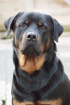 badr the rottweiler All Dogs, Best Dogs, Running Buddies, Rottweiler Love, Winter Running, English Bull Terriers, Animal Games, Thug Life, Four Legged