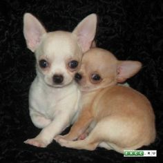Chihuahua Care - 5 Important Issues Every Owner Should Know - Dog Pets Zone Super Cute Animals, Cute Baby Animals, Chihuahua Puppies, Cute Puppies, Chihuahuas, Puppies And Kitties, Doggies, Cute Dogs Breeds, Cute Animal Pictures