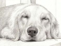 Pencil Drawing Patterns Naptime V - Pencil Drawing of a Golden Retriever named Sandy by Candy Witcher Dog Pencil Drawing, Pencil Art Drawings, Art Drawings Sketches, Amazing Drawings, Cool Drawings, Animal Sketches, Animal Drawings, Golden Retriever Art, Handmade Dog Collars