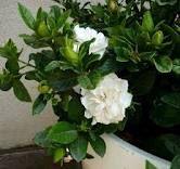 Gardenias ~ One of my favorite flowers