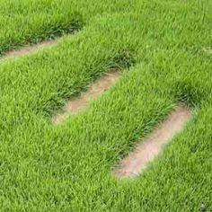 Zoysia japonica (Gazon Ecologique) Graines