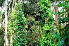 Die Pfefferpflanze und ihr Anbau