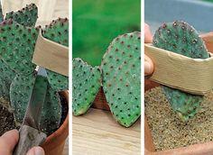 Bouturer le cactus-raquette - F. Marre - Rustica