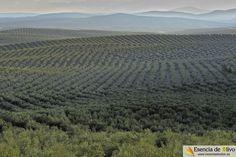 Impresionante gama de verde y plata del olivar de la campiña de Jaén