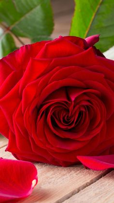 Rose Flower Pictures, Beautiful Flowers Pictures, Beautiful Rose Flowers, Flower Images, Amazing Flowers, Image Fleur Rose, Birthday Wishes Flowers, Rose Images, Hybrid Tea Roses