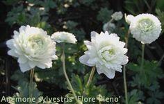 so - hs, Blüte 5 -6, Höhe 20  - 35 cm  Anemone sylvestris 'Flore Pleno Elise Fellmann' - Großes Wald-Windröschen