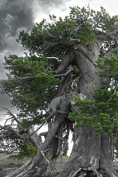 Bristlecone Pine Tree On The Rim Of Crater Lake - Oregon Photograph by Christine Till