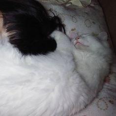 #いつも一緒 ✴❇🌟🌙❇ たまたま#カイジュー #おはようにゃー  より早く起きたら  ふくちゃんが,卵🐣を温める親鳥🐦のように 私を抱えてくれました(*´∀`*)♥ #白猫 #しろねこ #シロネコ #猫写真 #猫バカ #愛猫 #ねこ部  #しろねこ部 #ふわもこ部 #猫 #愛猫同好会 #イケニャン #にゃんすたぐらむ #にゃんだふるらいふ #猫のいる生活 #自宅警備員#cat #whitecat #catstagram #ねこら部 #美猫 #ねこすたぐらむ #mixcat