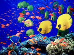 At the tip of the Sinai Peninsula, Egypt, the famous coral reef leaves even the most experienced divers amazed. I love raccoon butterfly fish but I've never seen any.