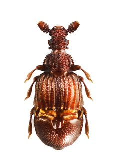 Theocerus -a 52 million year old beetle