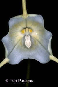 Dracula species, orchid photographs