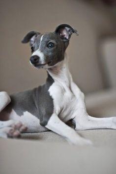 italian greyhound puppies gumtree