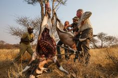 Poll: Should lion canned hunting be banned in South Africa? by Supertrooper http://focusingonwildlife.com/news/poll-should-lion-canned-hunting-be-banned-in-south-africa-2/