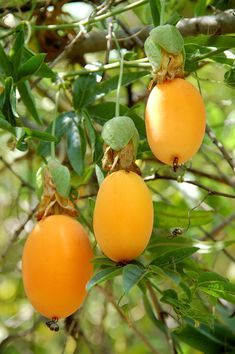 The yellow variety of Passion Fruit is good to eat and easily grown in the Naples, Florida garden.  It is a climbing vine and requires a growth up and over to produce fruit.  Set it up on climbing wall and enjoy.