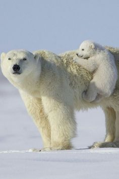 Polar bear mama bear with her cub Every child needs a personal jungle gym :)