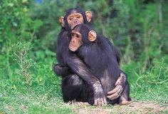 scimpanzè liberi dopo 30 anni, si abbracciano e ridono. Scoprilo su www.youanimal.it