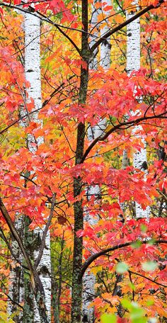 In the North woods of Minnesota, ash, birch, and pine showi off the various reds, oranges, yellows, and greens of the autumn forest.