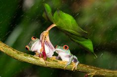 Photograph Frog shields its partner from the rain by Kutub Uddin on 500px