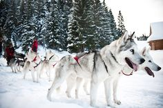 Want a little more speed? Let the tour company Fun Dog, take you on the ride of your life, driven by strong, fierce (and adorably fluffy) huskies.#huskies #dogs #winter #zakopane #poland #krakow #travel #winteractivities #dogsled #huskies