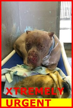 - SAINT I am a 4 yr old male tan/white pit bull mix. My owner dumped me here on Dec available Came in with Pretty - - Baldwin Park shelter Open for Adoptions 7 days a Week 4275 Elton Street, Baldwin Park, California 91706 Phone 626 430 2378 KILLED Shelter Dogs, Animal Shelter, Rescue Dogs, Animal Rescue, Stop Animal Cruelty, Save Animals, Pet Adoption, Fur Babies, Baldwin Park