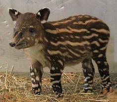 Noah when he was a baby (Baird's Tapir)