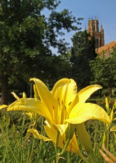 Daylilies near Marquette Hall at Marquette University.