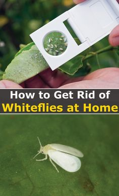 Is getting rid of white flies an endless struggle for you? You are not alone. Almost every gardener has faced this eternal fight of protecting their plants from harm caused by these small fuzzy moth-like bugs. Whiteflies can ravage your vegetable gardens, flower beds, and houseplants leaving all your efforts of having a beautiful home fruitless. The effects of these bugs on plants are very devastating while their fast reproduction makes it difficult to control if you don't act fast. Gardening For Beginners, Gardening Tips, Mint Oil, Mint Plants, Flower Garden Design, Fiddle Leaf Fig, Neem Oil, Fresh Fruits And Vegetables, Garden Pests