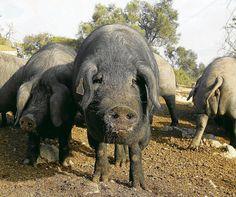 El saïm de porc té propietats contra la inflamació, segons ha demostrat la tesi doctoral de Xavier Capó.