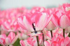 #tulip fields netherlands #flowers