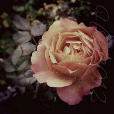 Rose in December (1)