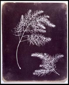 Plant fronds by William Fox Talbot. While sketching in the Lake Cosmo region of Italy in 1833, talbot became fustrated with his limited drawing ability and his difficulty in recording beautiful landscapes. After returning to england he began a series of experiments with paper treated with silver compounds.
