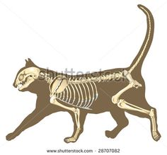 skeleton of cat section with bones x ray - stock vector