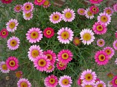 """Pink Mexican Daisies (grow 6"""" - 12"""" tall) #pavelife #garden #flowers"""