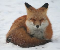 fox and snow.