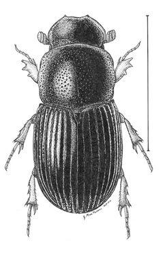 Aphotaenius.jpg (378×600)