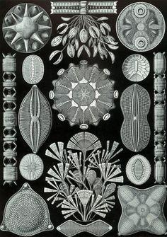 diatoms from Kunstformen der Natur by Ernst Haeckel