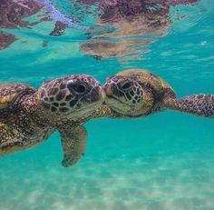 Underwater photography of Hawaiian sea turtles, or honu via Get more photo Baby Sea Turtles, Cute Turtles, Sweet Turtles, Small Turtles, Underwater Photography, Animal Photography, Sea Turtle Pictures, Hawaiian Sea Turtle, Animals Beautiful